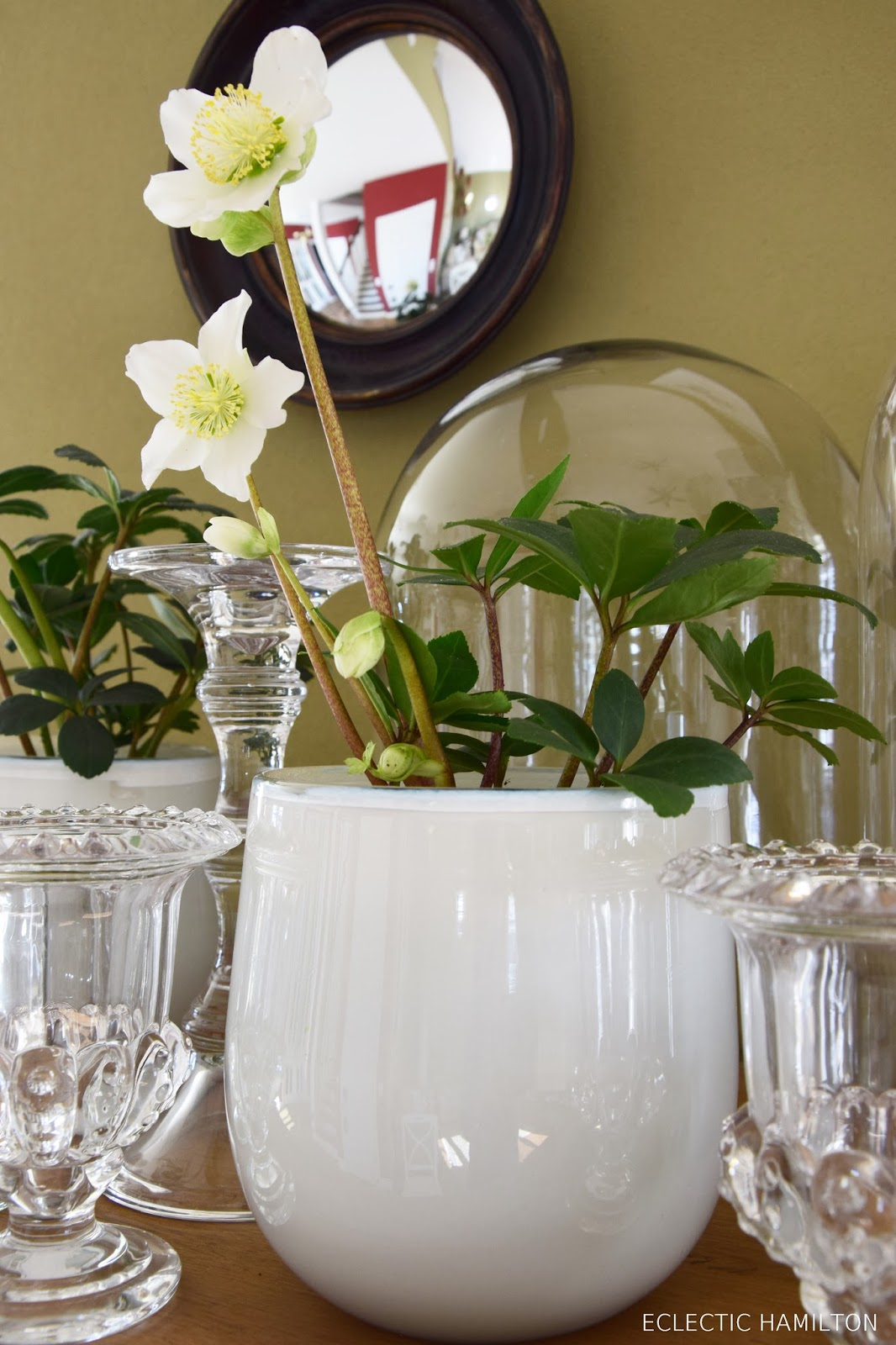 Tipps für Christrosen Lenzrosen im Haus. Ratgebeber für die richtige Pflege. Winterblüher Winterrose indoor