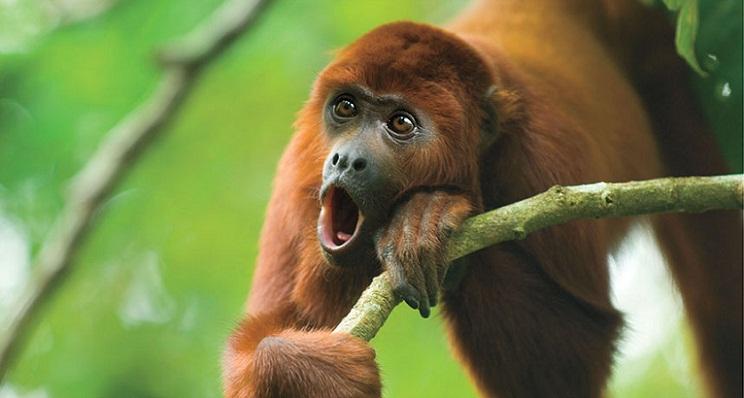 Suara howler mongkey