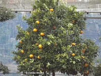 Citrus tree with fruit, Tokyo, Japan