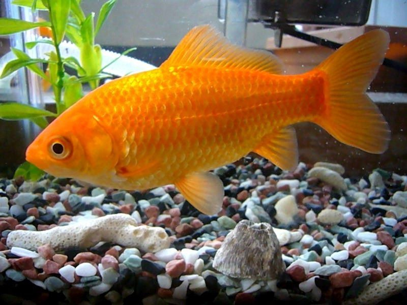 Cara Budidaya Ikan Koki Common Inilah Rahasianya
