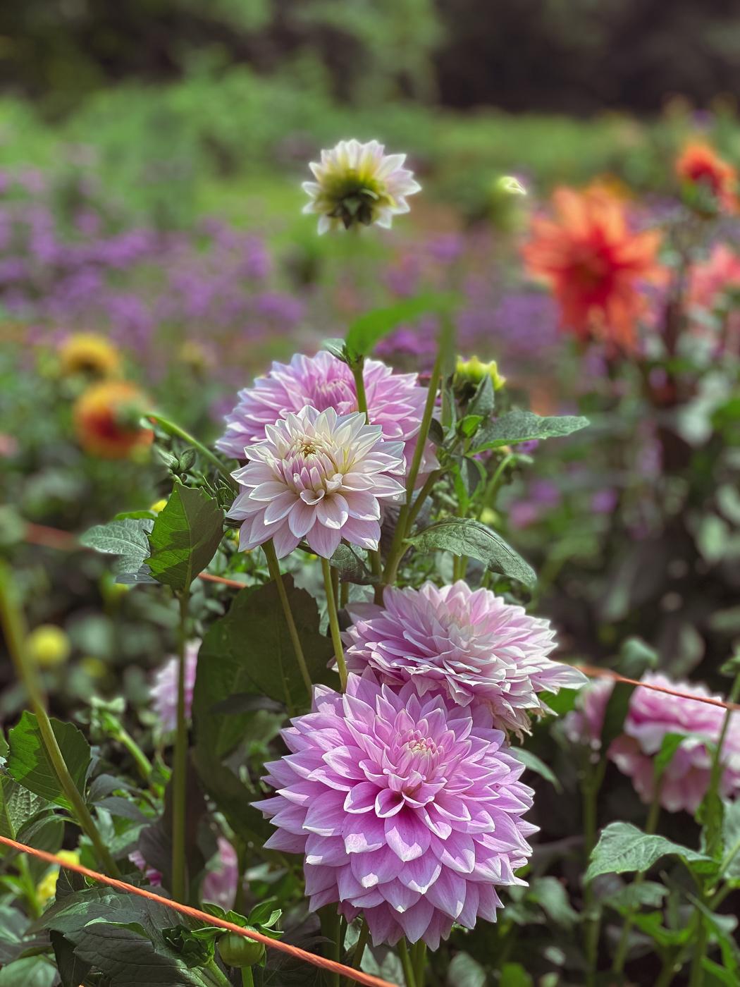 dahlia, summer garden flowers, blooming flowers, summer flowers that bloom