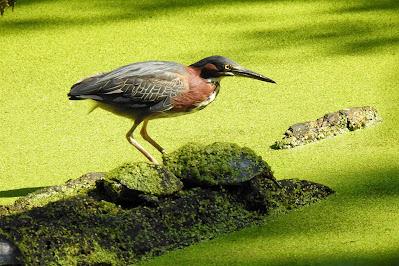 Green Heron Today