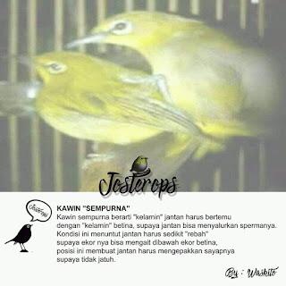 cara meningkatkan birahi burung pleci