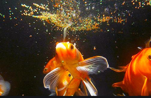 Cara Menjernihkan Air Aquarium Dengan Arang Obat Alami