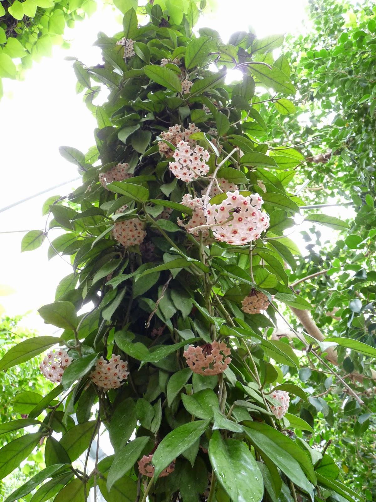 Hoa Cẩm Cù là loài hoa leo khá đẹp