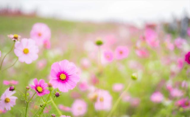 コスモス,秋桜,構図,撮り方