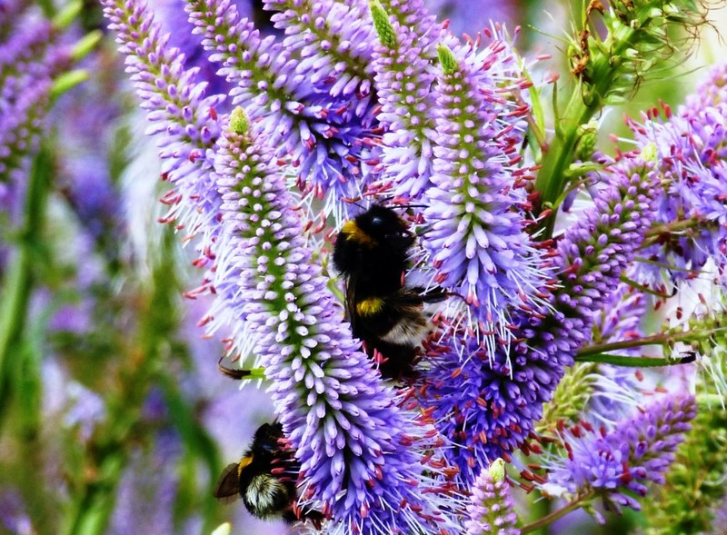 flores color púrpura de veronicastrum