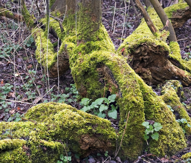 Moss covered fallen branches