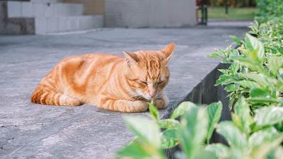 Pankreatitis kod mačaka