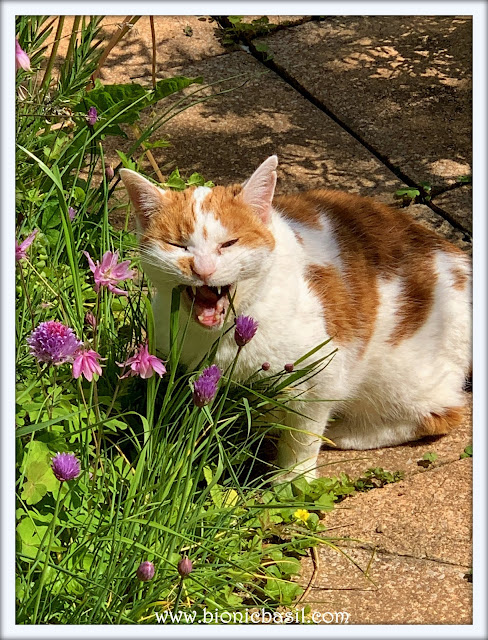 Amber Demonstrates The Delicate Art of Eating Grass ©BionicBasil® The Pet Parade 353