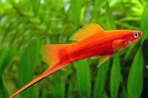 Ikan swordtail Cocok dengan Manfish