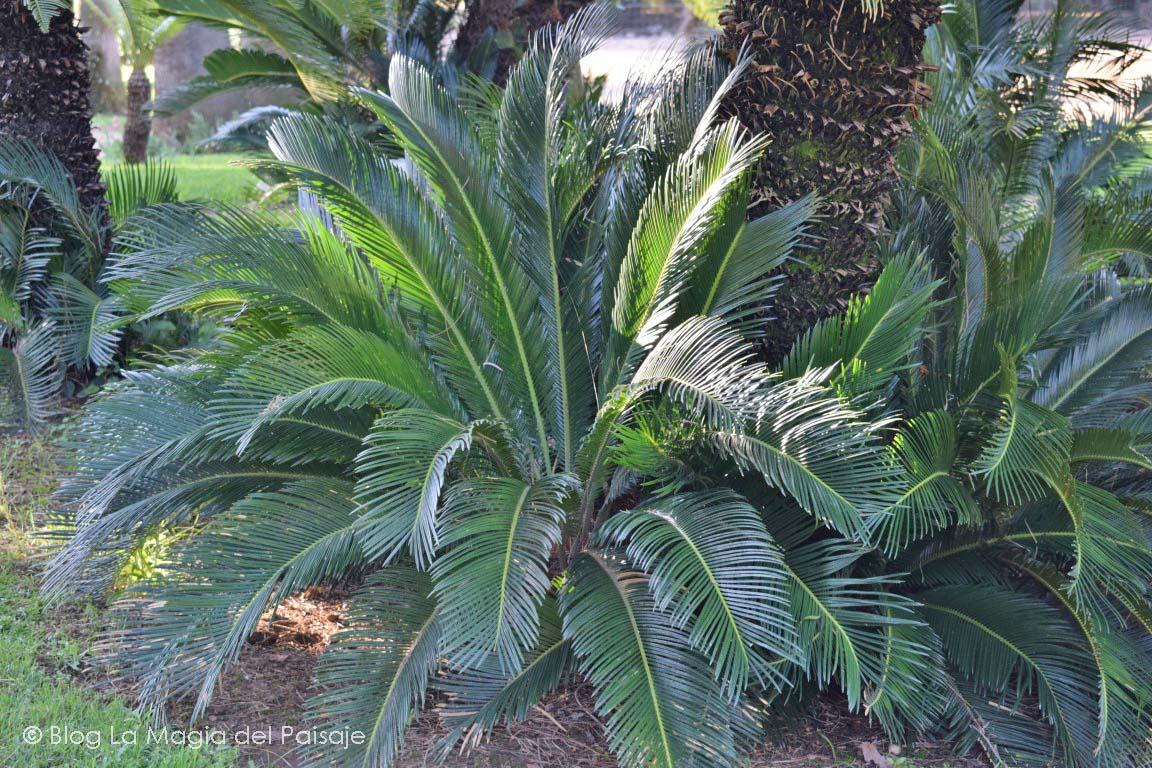 cycas revoluta, jardines tropicales, palmeras, diseño jardines, paisajismo, jardinería