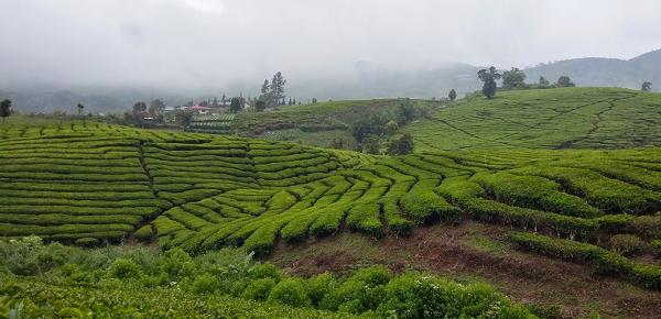 kebun teh di Objek Wisata Danau Kembar Solok