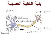 بنية الخلية العصبية