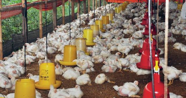Rumus pemeliharaan ayam broiler
