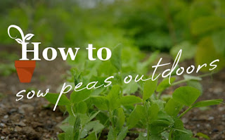 How to sow peas outdoors