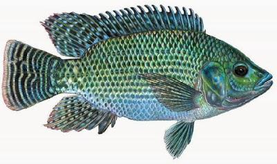 Ikan mujair ialah ikan yang hidup di air tawar Umpan Jitu untuk Memancing Ikan Mujair