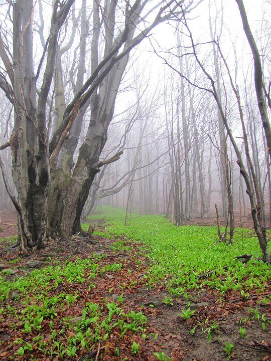 Runo ożywa w bezlistnym lesie.