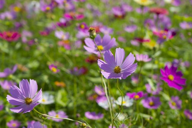 hoa cúc vạn thọ tây đẹp nhất 4