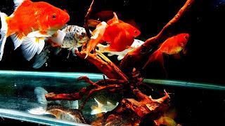 Cool Goldfish Community Aquarium HD Background