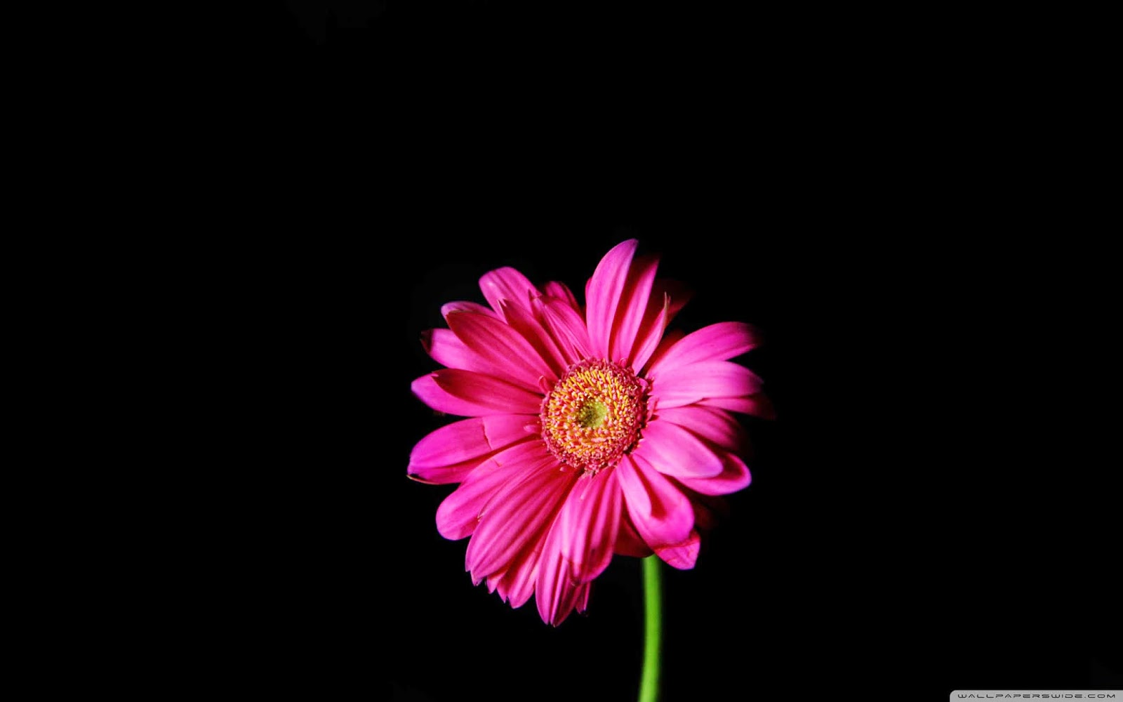 hot pink gerber daisy wallpaper