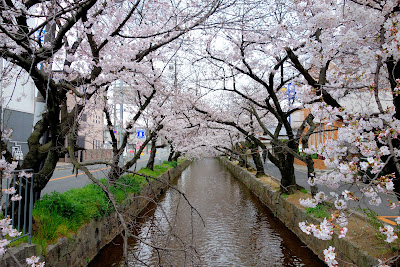 八尾市 玉串川の桜