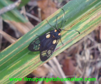 Kupu-kupu bersayap hitam dan kuning