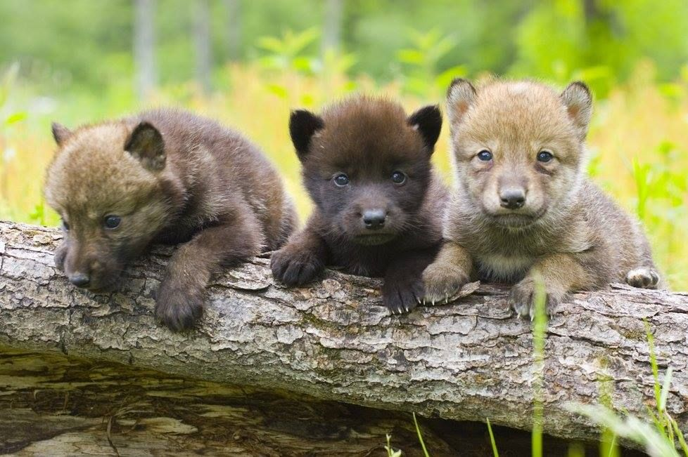 wolf-cubs