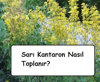 Sarı Kantaron Nasıl Toplanır