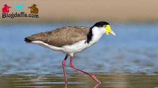 Burung Trulek Jawa sudah punah