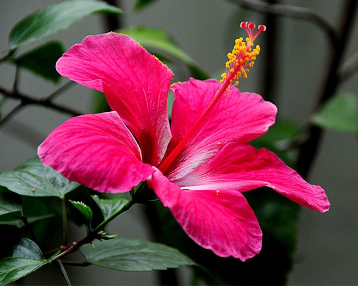 Dating gumamela flower