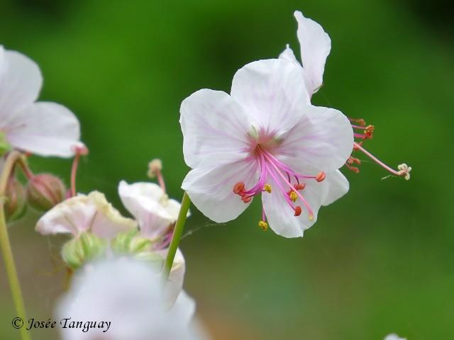 fleur blanche et rose
