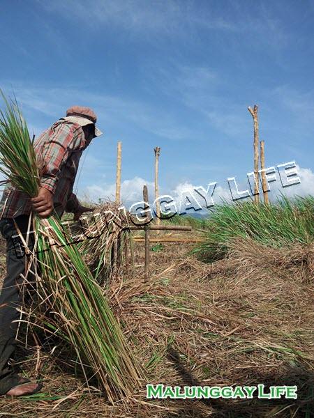 Moringa Farm Malunggaylife Agri Farm Philippines Making