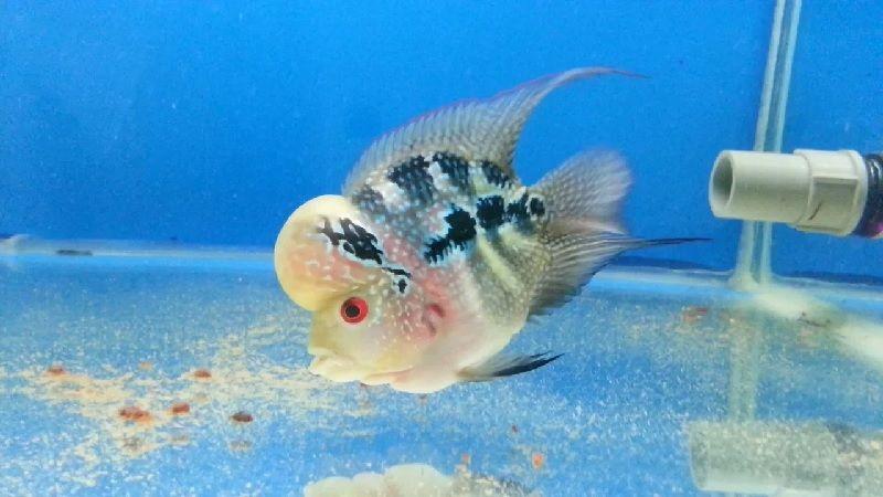 Gambar Ikan Louhan Bonsai, Bentuknya Lucu Tapi Cantik