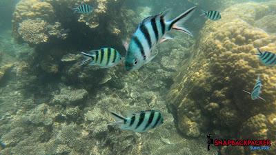 Sergeant Fish Swimming