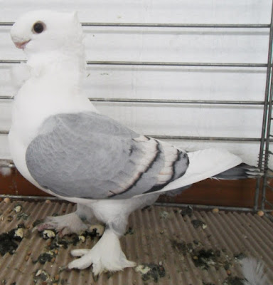 oriental frill pigeons - Cravaté Oriental