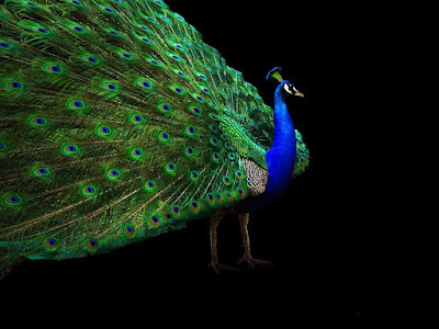 Ltest HD Wallpaper peacock | peacock HD Wallpapers | peacock  hd Pics |  Download pecock Pictures Desktop | peacock hd picture | Latest peacock Wallpapers | peacock hd  Stock Photos |  peacock hd Wallpapers, Pictures and Desktop Backgrounds | peacock  hd Photos | HD Wallpaper birds | peacock birds full hd wallpaper