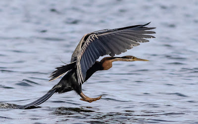 African darter landing in the Diep River Woodbridge Island