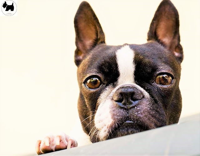 Cutest Dog Breeds, Best Dog, Boston Terrier Dog