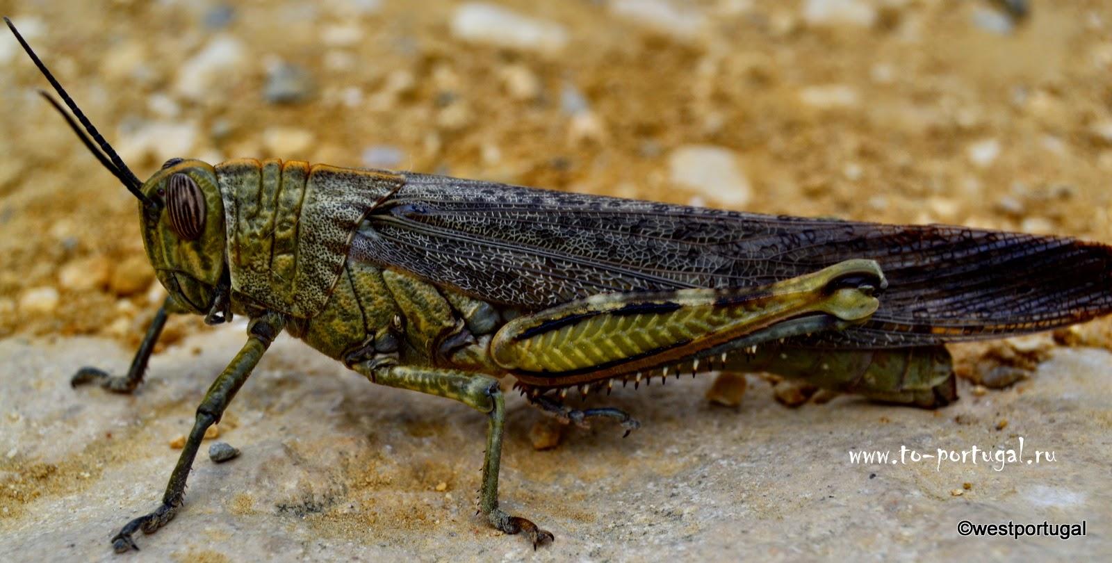 насекомые Португалии