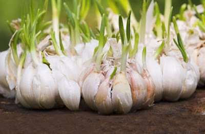 how to grow garlic at home in pots