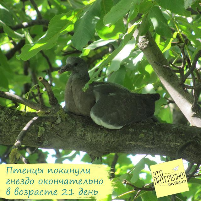 птенец витютеня покидает гнездо