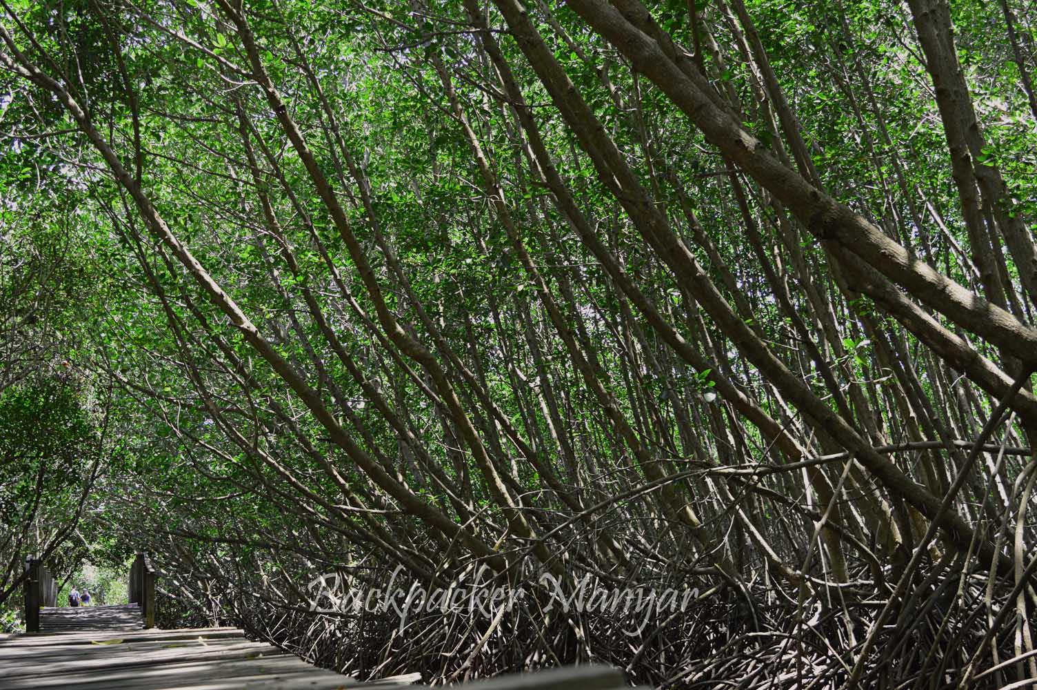 Hutan Mangrove Taman Hutan Raya Ngurah Rai Bali Keindahan