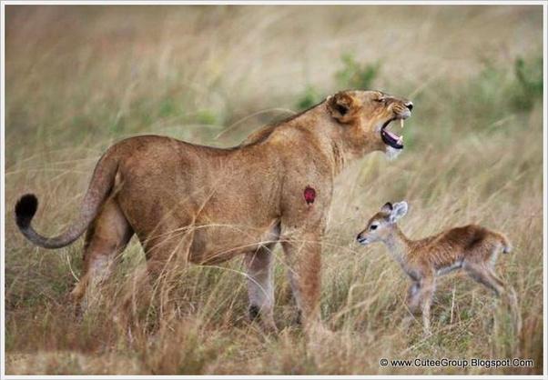 sư tử nhận con nuôi