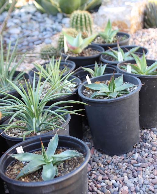 Several Agave montana and Agave striata in 1 gal pots