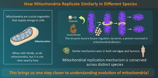 A step closer to understanding evolution - mitochondrial division conserved across species