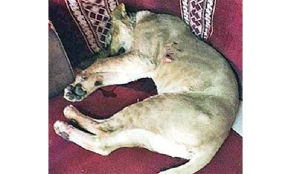 Saudi Arabia: The Pet Lion Killed His Owner