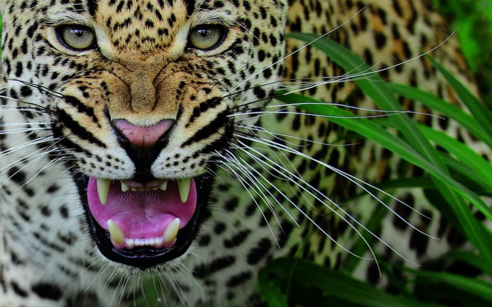 Fondo De Pantalla Animales Leopardo Enfurecido
