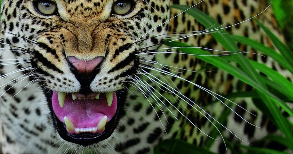 Fondo De Pantalla De Leopardo Fondos De Pantalla Gratis: Fondo De Pantalla Animales Leopardo Enfurecido