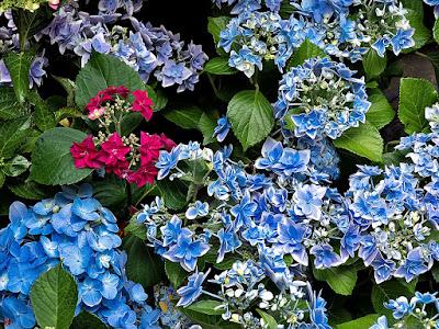Ajisai (Hydrangea) flowers: Kita-kamakura